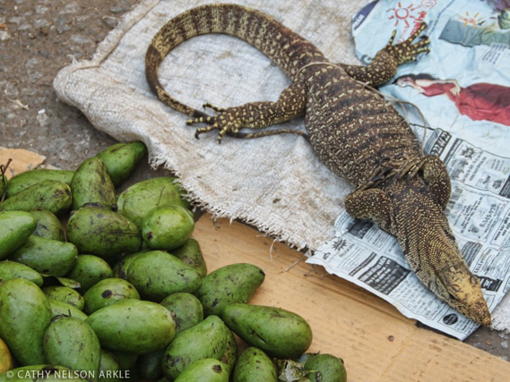 iguana and avocados in Laos