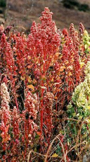 quinoa growing in field