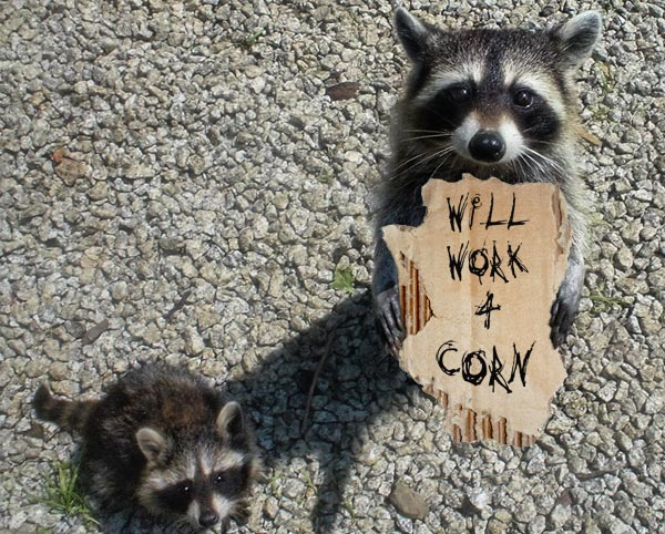 Raccoon with sign