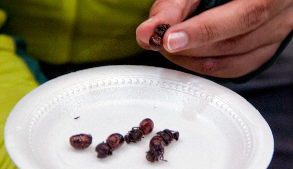 eating roasted-ants-in-colombia