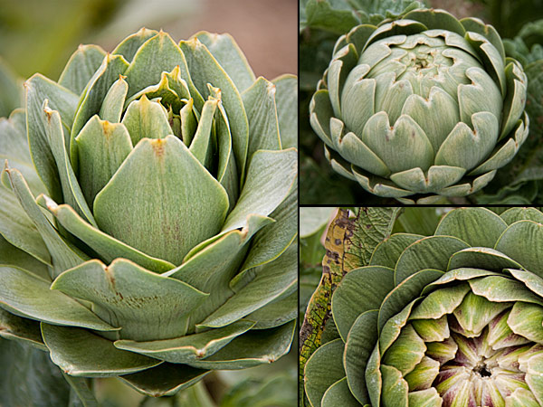 artichokes at Barado Farms
