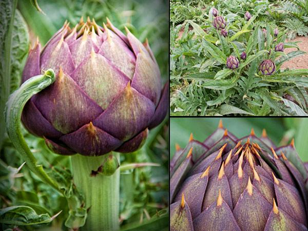 thorny-artichoke-Baroda_Farms