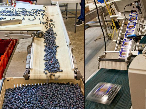 blueberries Fairfield Farms Pauma Valley ca